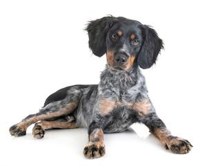 puppy brittany spaniel