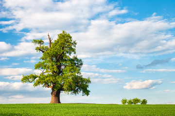 Mighty Oak Tree in Green Field under blue sky with clouds, Spring Landscape under Blue Sky