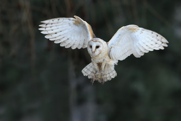 Fotobehang Uil Barn owl flying
