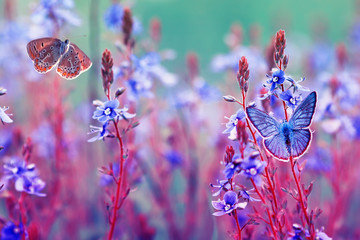 beautiful little golubyanka Icarus butterflies sit and flutter in a bright meadow on gentle blue and lilac flowers on a Sunny summer day