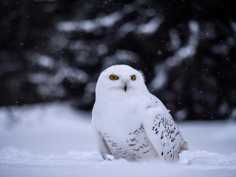 Snowy owl (Bubo scandiacus) on snowy ground. Snowy owl portrait. Snowy owl closeup photo.