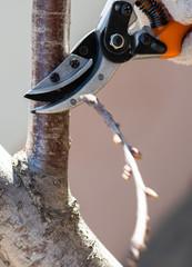 Closeup of spring pruning of fruit trees.