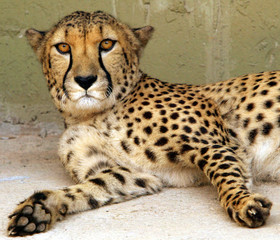 EIGHT-YEAR-OLD CHEETAH NORSE RESTS IN HIS CAGE IN DARICA ZOO.