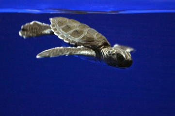 BABY SEA TURTLES SWIMS AT SEA WORLD IN SAN DIEGO.