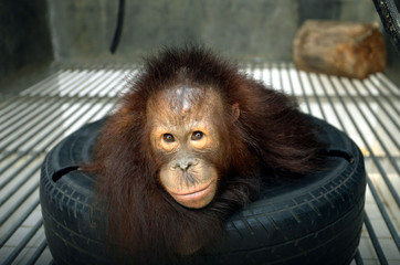 MICHAEL, A YOUNG MALE ORANGUTAN, SITS IN HIS CAGE IN JAKARTA.
