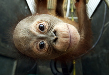 EDDY, A BABY ORANGUTAN, AT HIS CAGE IN JAKARTA.