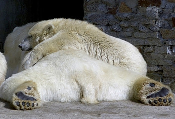 POLAR BEAR CUB RESTS WITH HIS MOTHER IN ST.PETERSBURG'S ZOO.