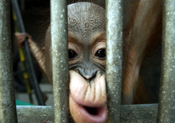 EDDY, A BABY ORANGUTAN, LOOKS OUT FROM HIS CAGE IN JAKARTA.