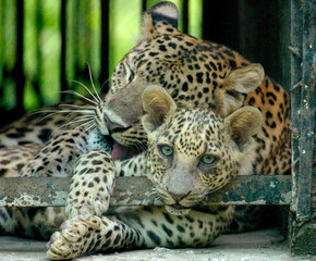 LEOPARD SLEEPS WITH ITS CUB IN DELHI'S ZOO.