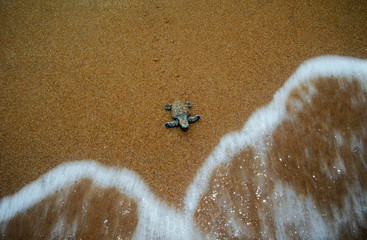 BABY TURTLE CRAWLS INTO SEA AT BEACH IN MALAYSIA.