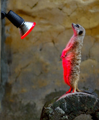 MEERKAT WARMS ITSELF IN THE GLOW OF A HEAT LAMP DURING COLD SNAP AT SYDNEY ZOO.