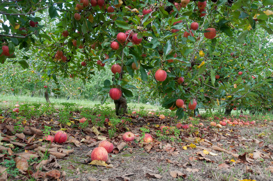 Apple orchard with ripe red apples hanging on trees