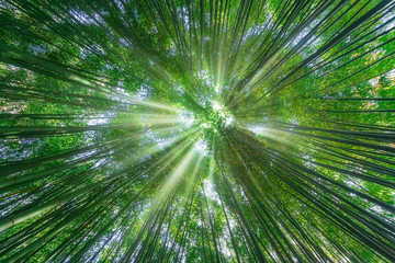 Foto auf Acrylglas Bambus nature background of bamboo forest with sun rays