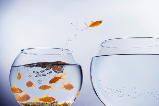 Goldfish jumping from crowded bowl