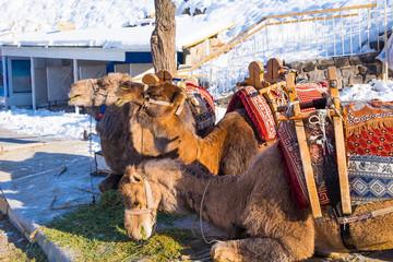 Camel ride service for tourist in Kapadokya, Turkey