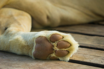 Lion's paws while sleeping on wooden floor