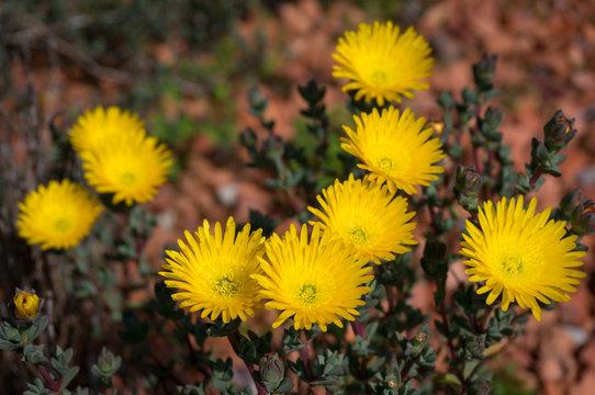 Bright yellow ice plant flowers. Flowering desert plant