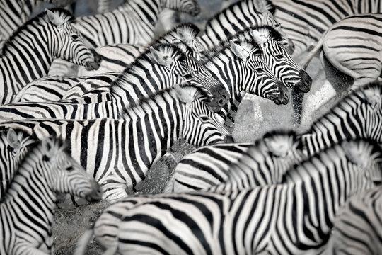 Zebra running in water
