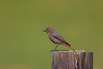 Rouge-queue noir femelle