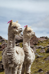 Twin Alpacas in the Andes watching attentively