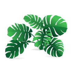 Monstera leaf plant vector on white background
