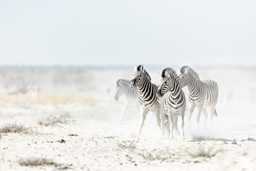 Zebra's in dust