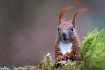 Eichhörnchen am Moos Ansitz