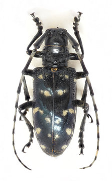 Citrus long-horned beetle, top view