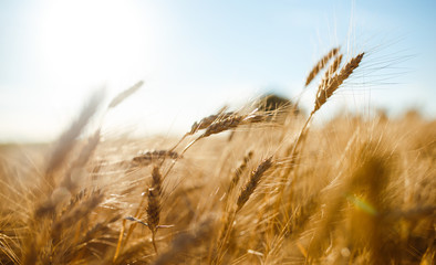 Amazing agriculture sunset landscape.Growth nature harvest. Wheat field natural product. Ears of golden wheat close up. Rural scene under sunlight. Summer background of ripening ears of landscape. Fototapete