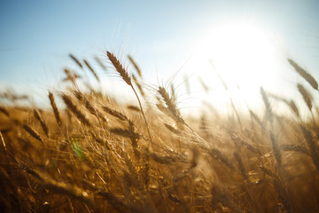 Fototapeta Amazing agriculture sunset landscape.Growth nature harvest. Wheat field natural product. Ears of golden wheat close up. Rural scene under sunlight. Summer background of ripening ears of landscape. obraz