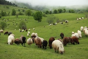 Poster de jardin Sheep herd of sheep in green meadow. artvin/turkey