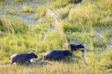 Hippo from above in the Okavango Delta