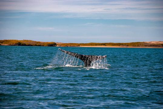 Grey Whales (Eschrichtius robustus) in their winter birthing lagoon at Adolfo Lopez Mateos in Baja California on Mexico's Pacific coast.