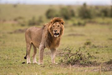Male African lion in Masai Mara, Kenya Wall mural