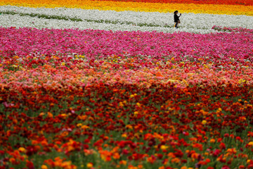 A visitor takes a picture of some of the 50 acres of blooming giant Tecolote ranunculus flowers at the Flower Fields at Carlsbad Ranch in Carlsbad, California