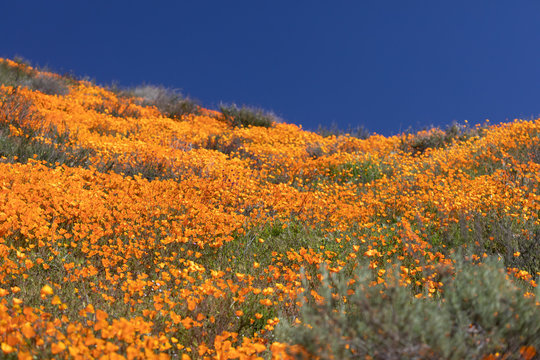 California Poppies Landscape During the 2019 Super Bloom
