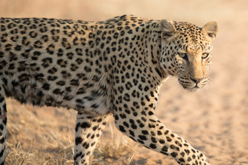 Poster Leopard Leopard stalking