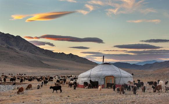 goats surrounding a yurt in Western Mongolia