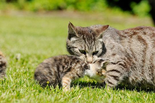 cat mother carrying kitten