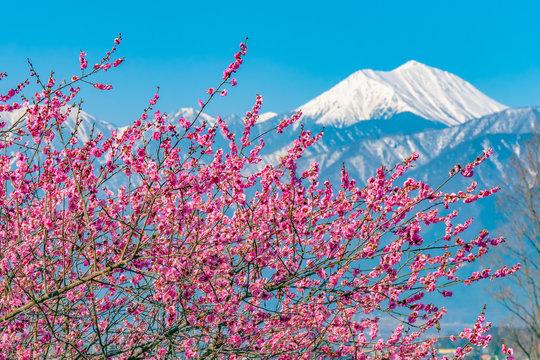 長野県 大王わさび農場 雪山と梅と青空
