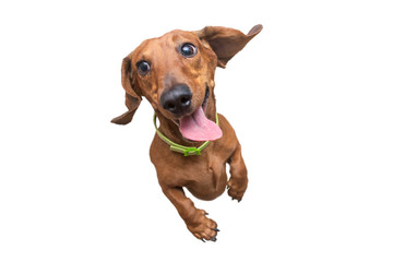 Mad and Happy brown dachshund jumping on camera. White isolated background