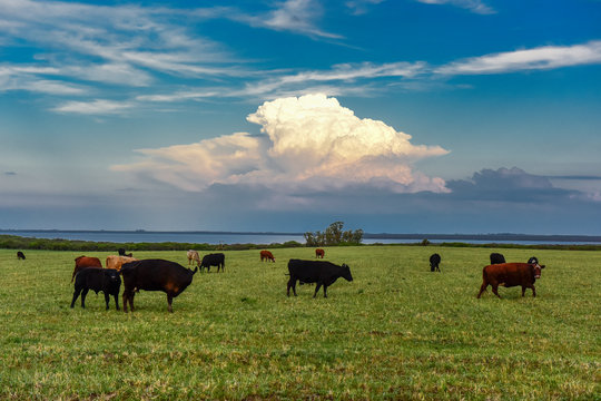 Countryside landscape with cows grazing, La Pampa, Argentina