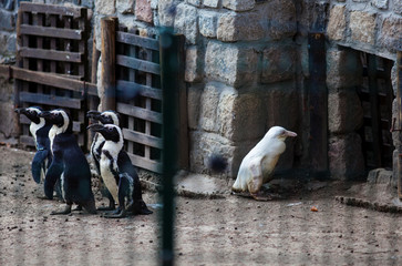 A juvenile albino penguin is presented to the public for the first time at the Gdansk Zoo in Gdansk
