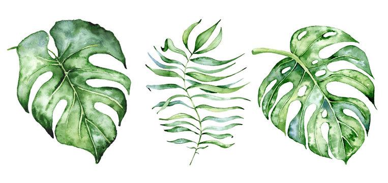 Watercolor monstera leaves set. Tropical plant illustration