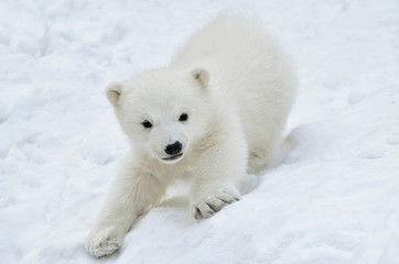 polar bear cub  in snow