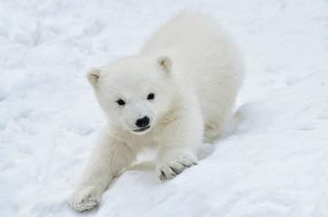 polar bear cub  in snow Fototapete