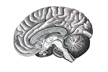 Illustration of brain from the side in a vintage book Hygiene course, S. Vishnevskiy, 1886