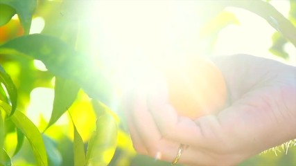 Fotoväggar - Ripe Orange Citrus fruits or tangerines hanging on a tree. Person picking Beautiful Healthy organic juicy oranges in Sunny Orchard. Orange gathering. 4K UHD video 3840X2160 slow motion