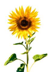 isolated lush sunflower