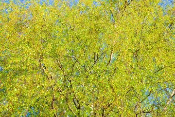 Photo sur Plexiglas Bosquet de bouleaux Green leaves on birch branches. Blossoming tree branches in sunny weather day in park. Colorful background of birch tree leaves close-up.